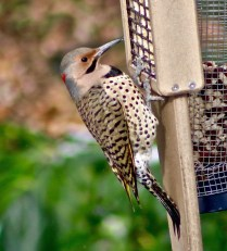 Northern Flicker - Irondequoit - © Candace Giles - Dec 10, 2016
